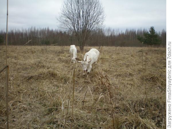 Весенние худые козы