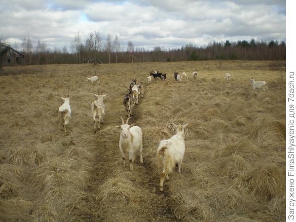 Самые весенние козы