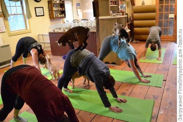 Занятия йогой с козлятами на ферме Дженесс в Нью-Гемпшире. Фото с сайта Facebook.com