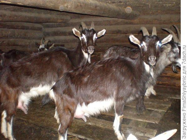 Мишель и Барак - лучшие козы сезона, удивительно молочные. На полу - настилы для ночевки коз