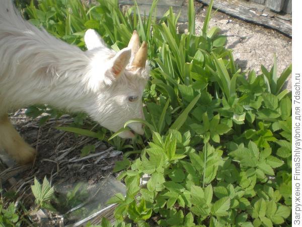 Козленок ест траву