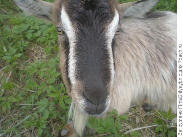Укушенная гадюкой коза Флакон с распухшей мордой