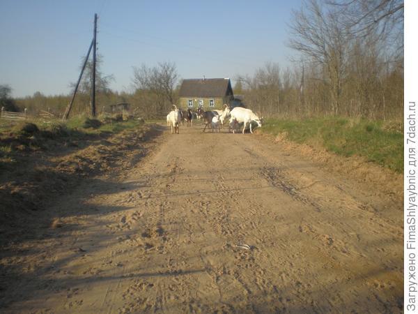 Козы в Вярьмово