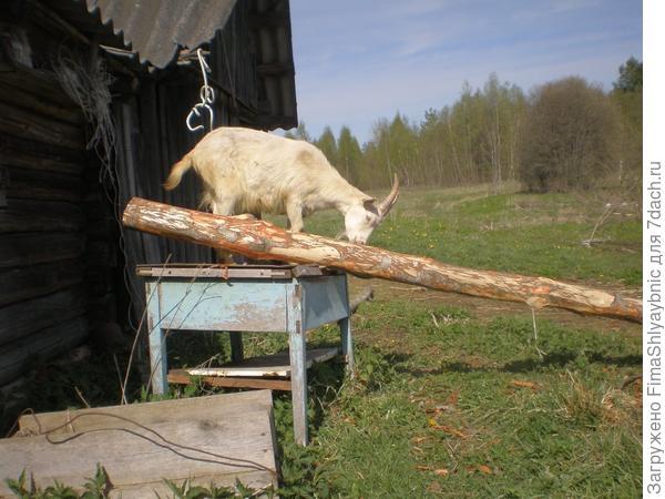 Коза-подросток и бревнышко