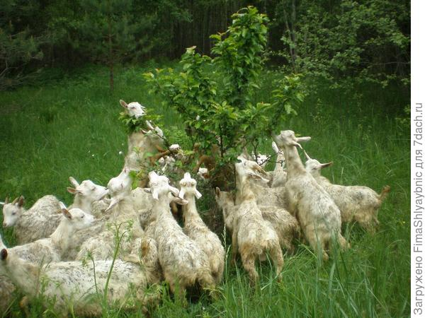 Козлята обгладывают дикую яблоню