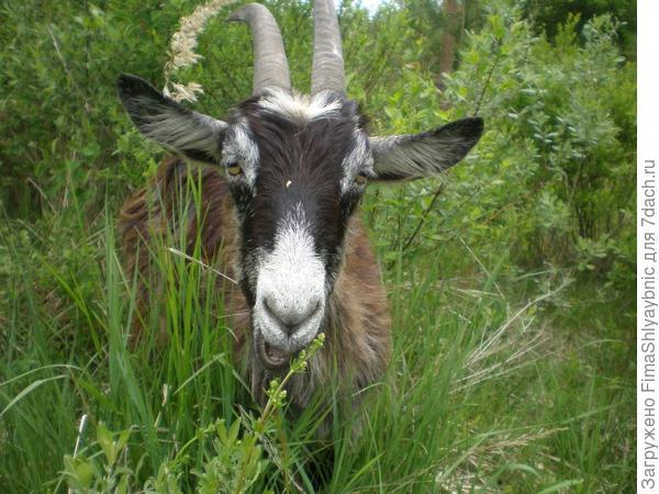 Коза по кличке Самосвал летом среди травы и кустов