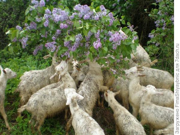 Сирень и козлята
