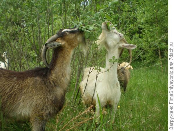 Лучшие козы в мире - Белка и Бендера