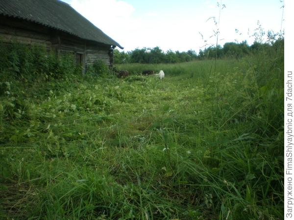 Козы и трава