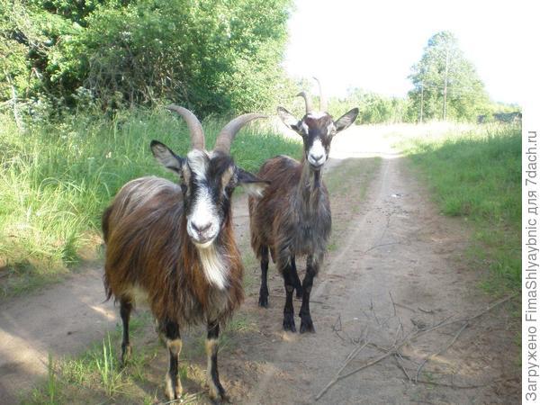 Дашка и 3305 - обычные деревенские козы. У них все хорошо