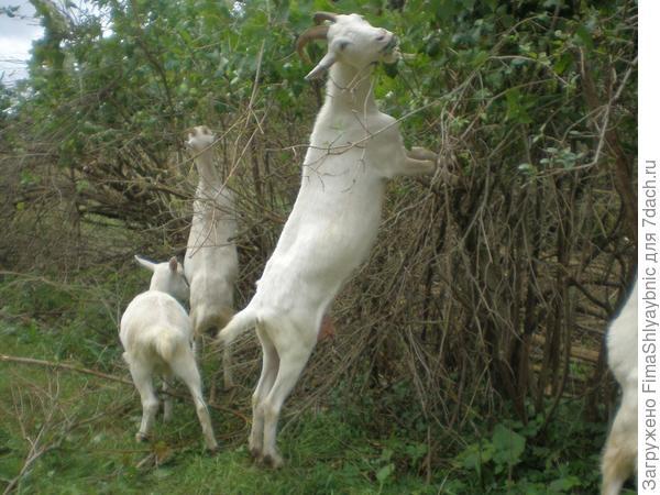 Коза Маруся с двумя козочками