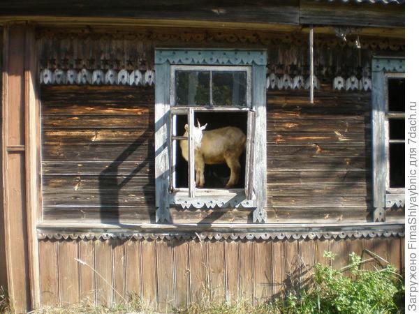 Этот домик приспосабливаю под хлев для коз