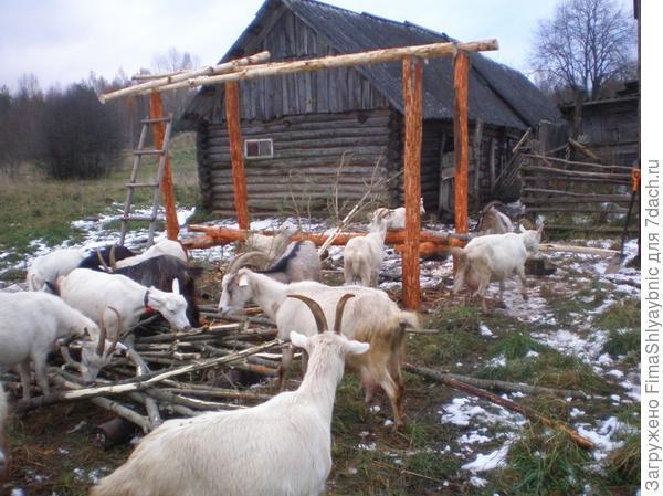 Немного снега и козы