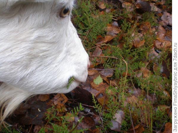 Козы едят стланниковую форму неких хвойных, напоминающих кипарис