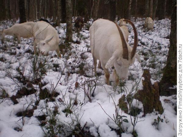 Зима, и козы в запуске. Дойка начнется с марта 2018 года