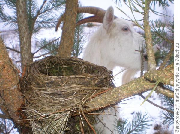 Маруся, сосна и гнездо