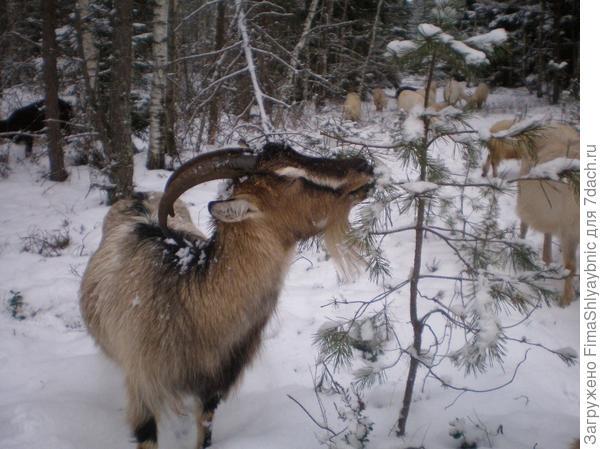 Та самая коза Флакон, укушенная летом гадюкой