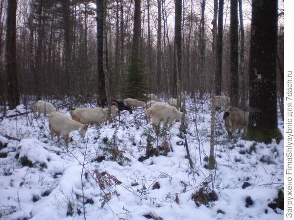 Козы на Дальнем болоте 3 декабря