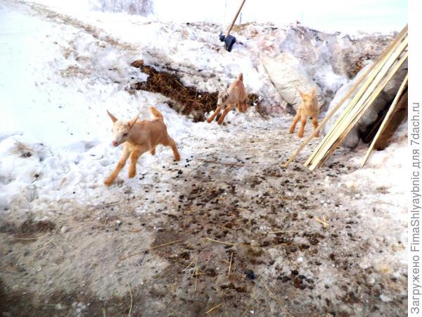 Жизнерадостные козлята зимой