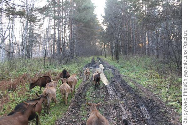 Дорога и козы