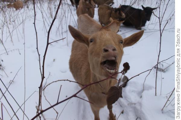 Малина и коза