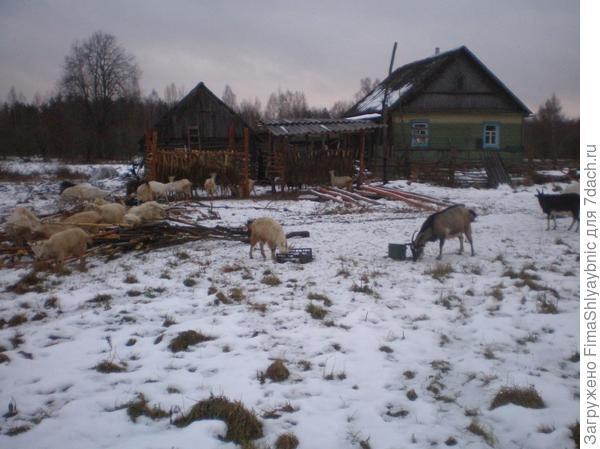 Несколько коз зимой в декабре