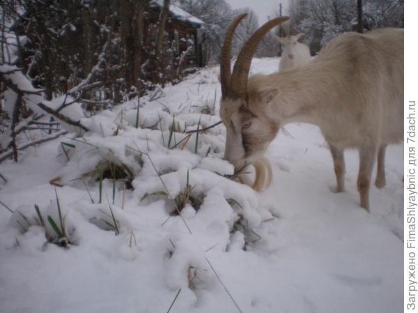 Лора выискивает зеленую траву