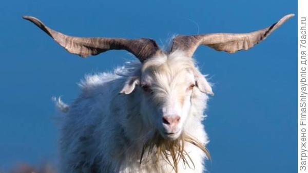 Взрослый козел. Фото с сайта stuff.co.nz