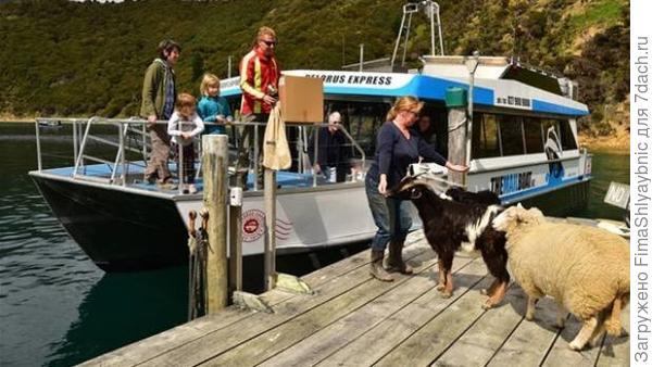 Козел Билли Боинг с хозяйкой Натали встречает почтовый катер Пелорус. Фото с сайта stuff.co.nz