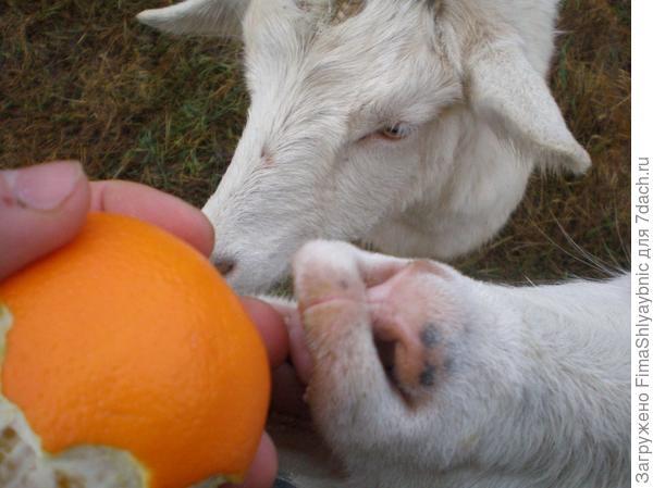 Маруся бесшабашно отказывается от апельсина в пользу подружек по стаду