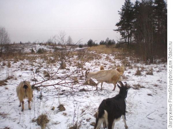 Сосновая гора и козы