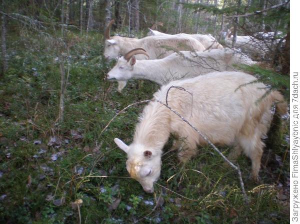 Козы в лесу