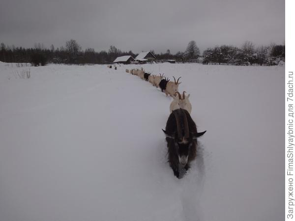 Суровые козы идут на прогулку