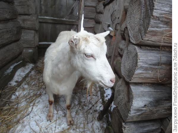 Фея ждет весны и козлят