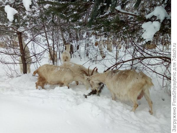 Козы в зимней роще