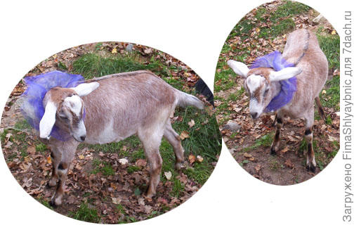 Коза в сшитом Марной костюме. Фото с сайта workinggoats.com