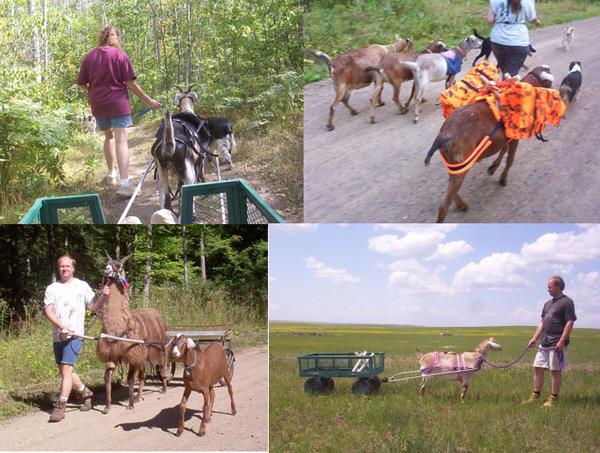 Марна, Дерон, козы, лама. Фото с сайта workinggoats.com