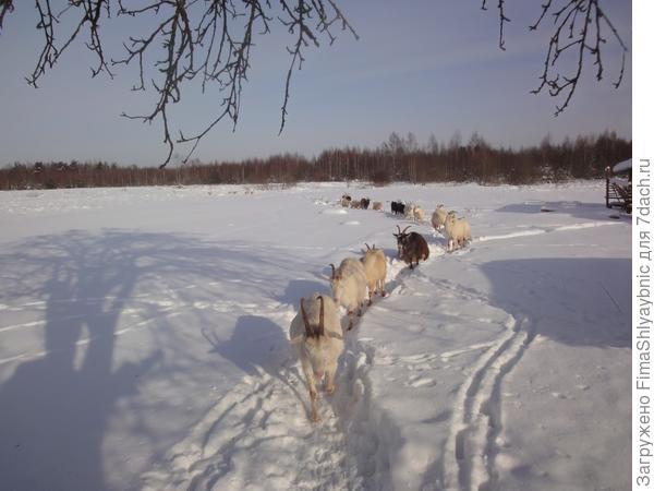 Зимнее солнце и козы
