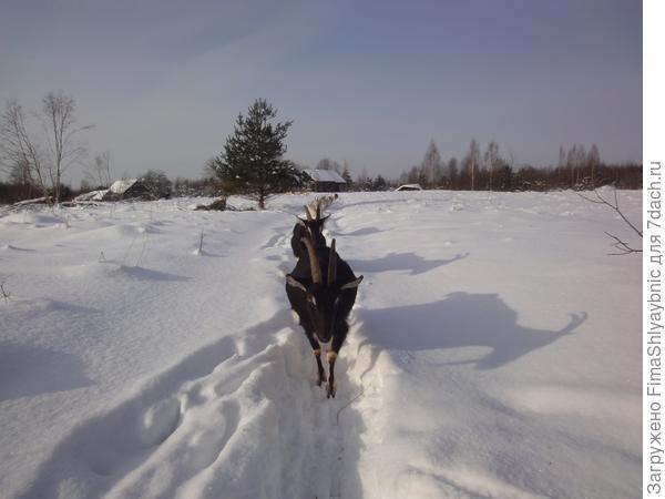 Зимние козы