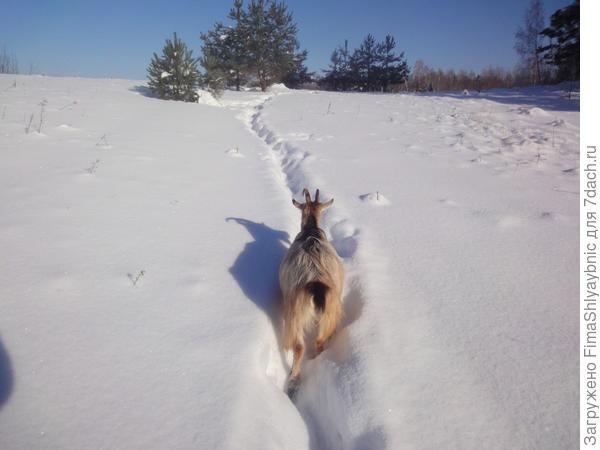 Коза Флакон идет на Сосновую гору