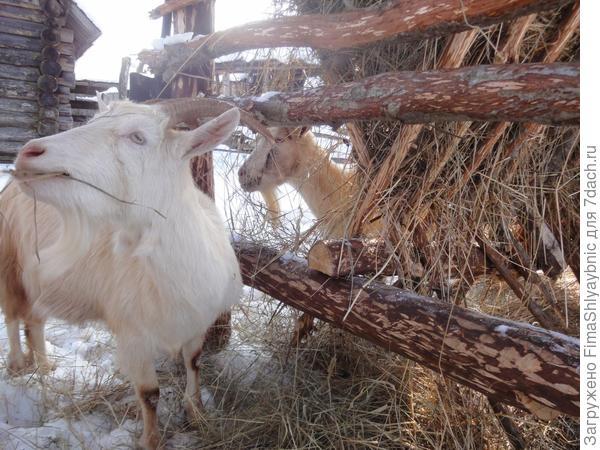 Коза Двенадцатая ждет весны