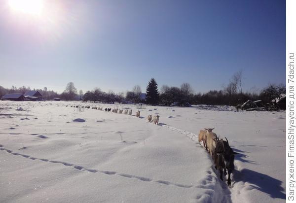 Козы идут по снегу. Солнышко и снег