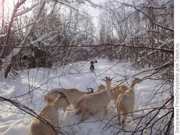 Лес и козы