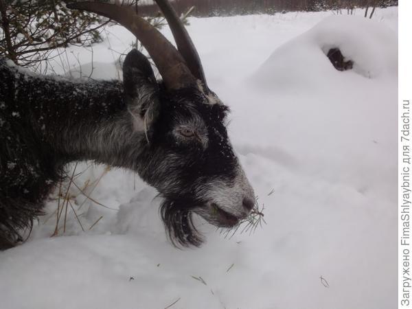Снег и коза