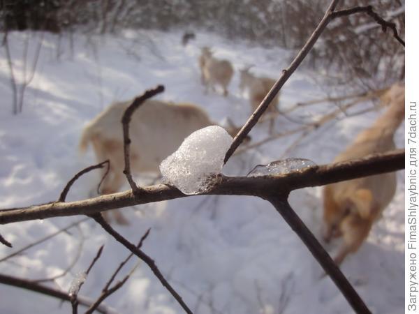 Снежок на ветке