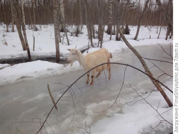 Молодая козочка на речке