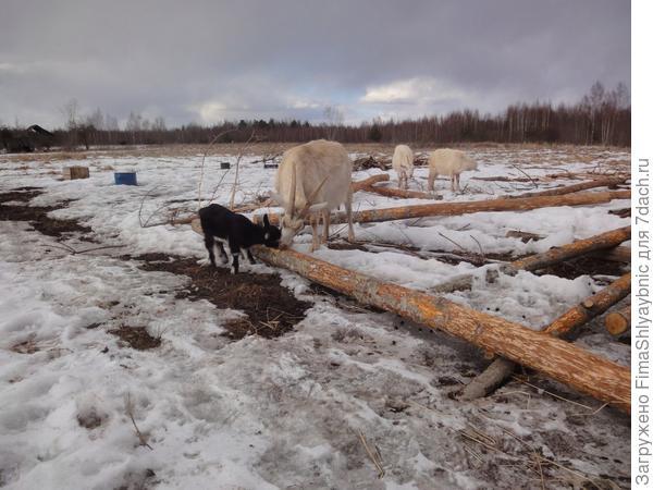Козленок с мамой помогают строить уличные кормушки - окоряют жердину