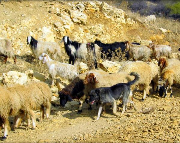 Козы на пастбище с собакой. Фото с сайта sietske-in-beiroet.blogspot.ru