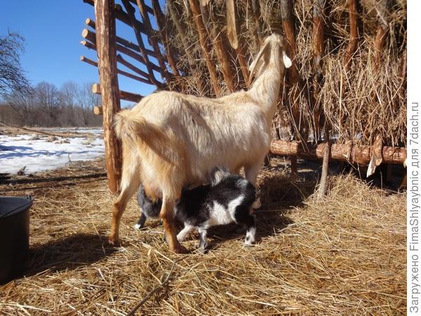 Белка с козлятами