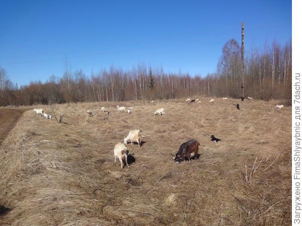 Весенним днем козы гуляют с козлятами